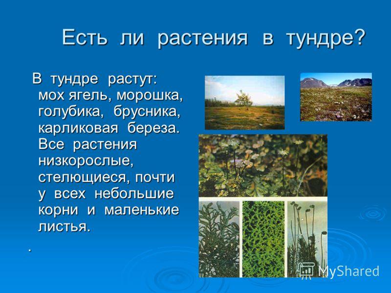 Есть ли растения в тундре? Есть ли растения в тундре? В тундре растут: мох ягель, морошка, голубика, брусника, карликовая береза. Все растения низкорослые, стелющиеся, почти у всех небольшие корни и маленькие листья. В тундре растут: мох ягель, морош