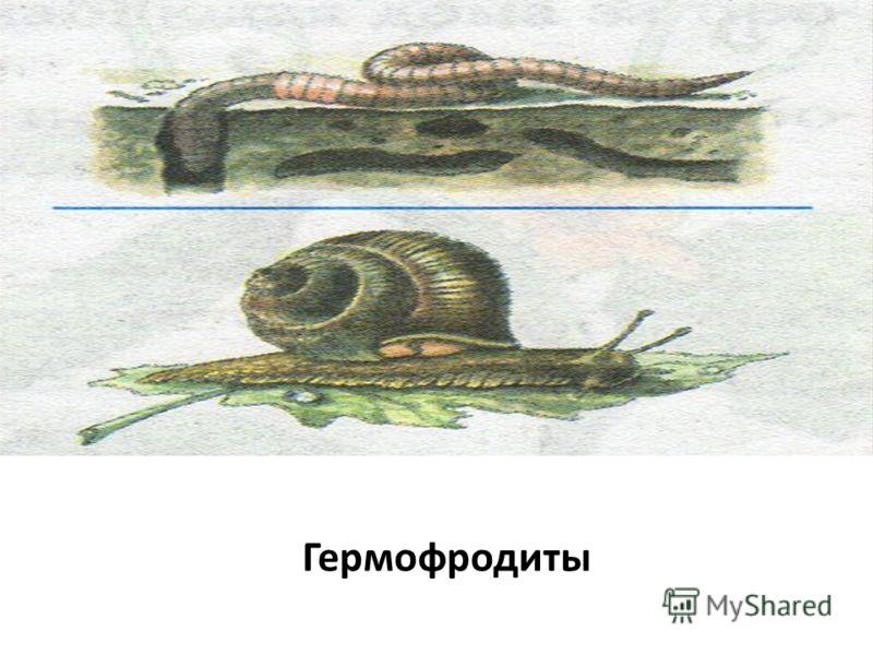 Гермофродиты