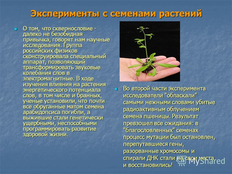 Эксперименты с семенами растений О том, что сквернословие - далеко не безобидная привычка, говорят нам научные исследования. Группа российских физиков сконструировала специальный аппарат, позволяющий трансформировать звуковые колебания слов в электро