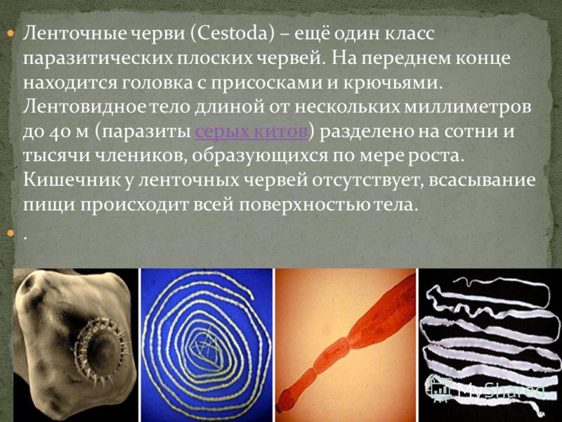 Ленточные черви (Cestoda) – ещё один класс паразитических плоских червей. На переднем конце находится головка с присосками и крючьями. Лентовидное тело длиной от нескольких миллиметров до 40 м (паразиты серых китов) разделено на сотни и тысячи членик