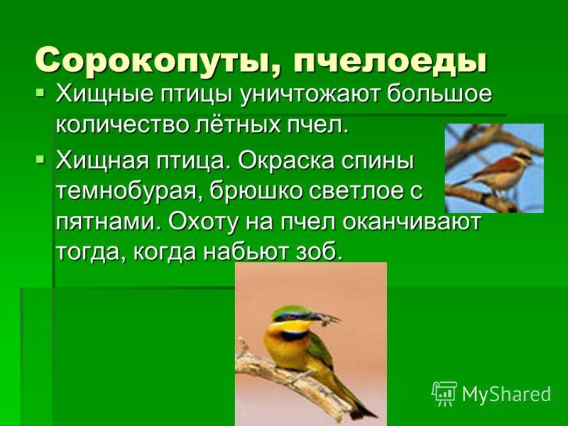 Сорокопуты, пчелоеды Хищные птицы уничтожают большое количество лётных пчел. Хищные птицы уничтожают большое количество лётных пчел. Хищная птица. Окраска спины темнобурая, брюшко светлое с пятнами. Охоту на пчел оканчивают тогда, когда набьют зоб. Х