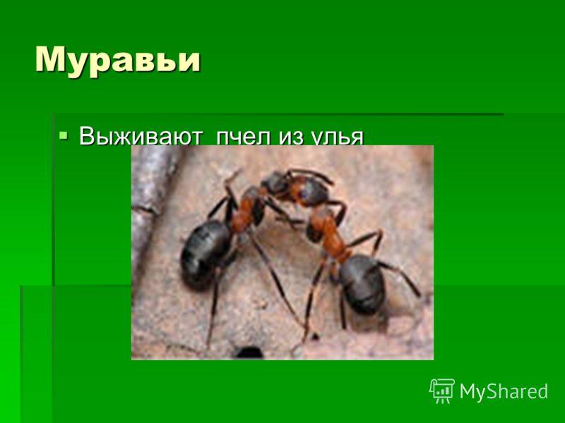 Муравьи Выживают пчел из улья Выживают пчел из улья