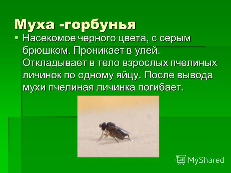 Муха -горбунья Насекомое черного цвета, с серым брюшком. Проникает в улей. Откладывает в тело взрослых пчелиных личинок по одному яйцу. После вывода мухи пчелиная личинка погибает. Насекомое черного цвета, с серым брюшком. Проникает в улей. Откладыва