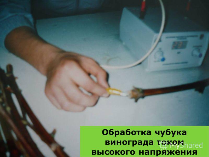 Обработка чубука винограда током высокого напряжения