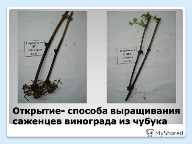 Открытие- способа выращивания саженцев винограда из чубука