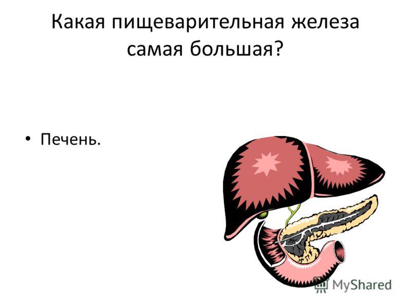 Какая пищеварительная железа самая большая? Печень.
