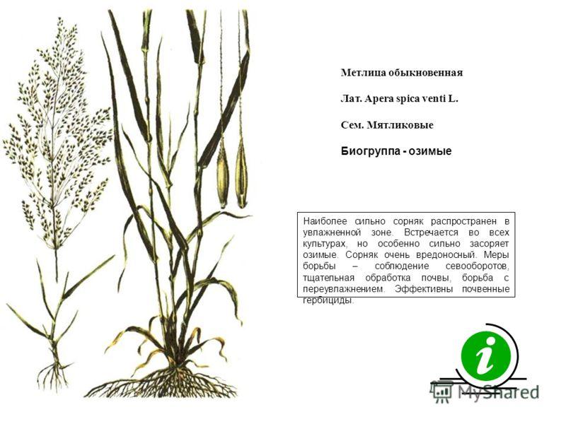 Наиболее сильно сорняк распространен в увлажненной зоне. Встречается во всех культурах, но особенно сильно засоряет озимые. Сорняк очень вредоносный. Меры борьбы – соблюдение севооборотов, тщательная обработка почвы, борьба с переувлажнением. Эффекти