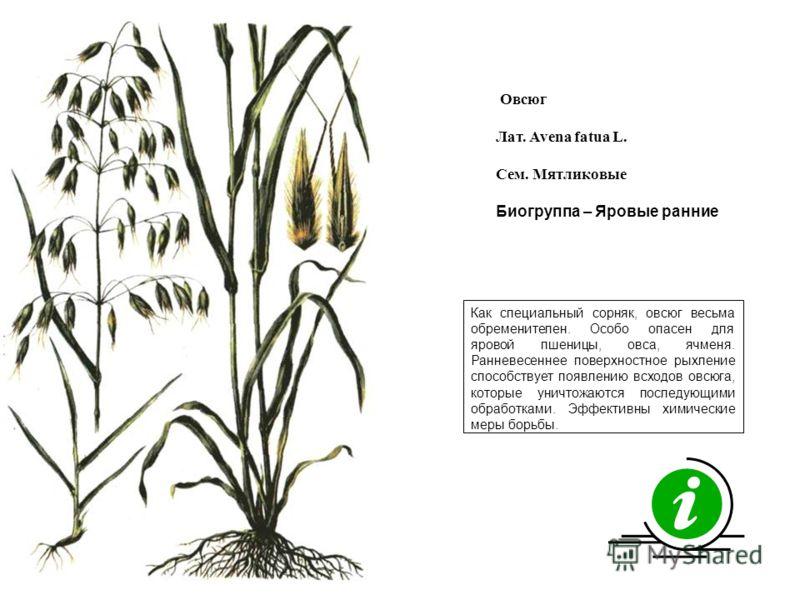 Как специальный сорняк, овсюг весьма обременителен. Особо опасен для яровой пшеницы, овса, ячменя. Ранневесеннее поверхностное рыхление способствует появлению всходов овсюга, которые уничтожаются последующими обработками. Эффективны химические меры б
