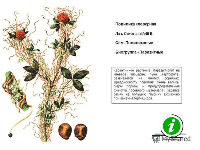Карантинное растение, паразитирует на клевере, люцерне, льне,картофеле, развивается на многих сорняках. Вредоносность повилики очень велика. Меры борьбы – предупредительные (очистка посевного материала), заделка семян на большую глубину. Возможно при
