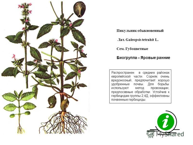 Распространен в средних районах европейской части. Сорняк очень вредоносный, предпочитает хорошо удобренные почвы. Для борьбы используют метод провокации, предпосевные обработки. Устойчив к гербицидам группы 2,4Д, эффективны почвенные гербициды. Пику