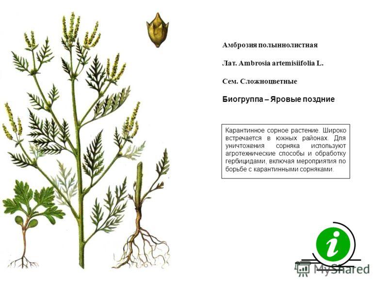 Карантинное сорное растение. Широко встречается в южных районах. Для уничтожения сорняка используют агротехнические способы и обработку гербицидами, включая мероприятия по борьбе с карантинными сорняками. Амброзия полыннолистная Лат. Ambrosia artemis