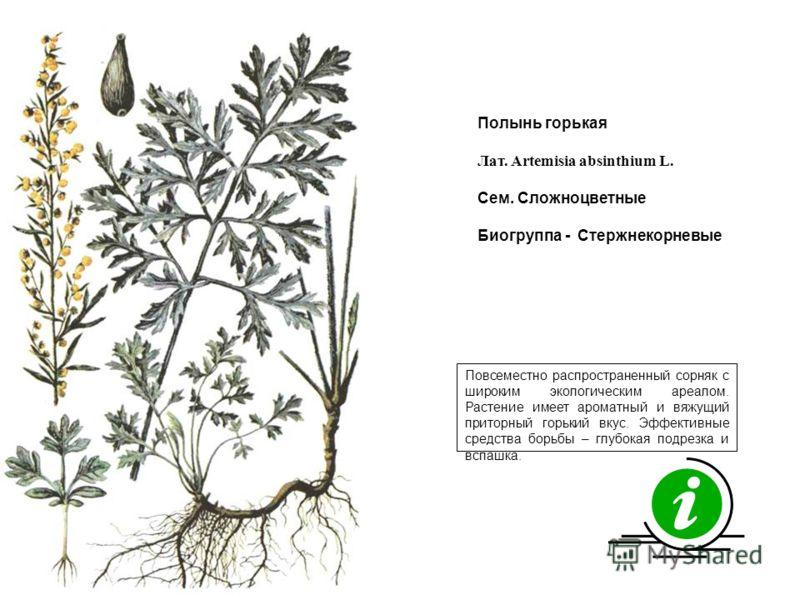 Повсеместно распространенный сорняк с широким экологическим ареалом. Растение имеет ароматный и вяжущий приторный горький вкус. Эффективные средства борьбы – глубокая подрезка и вспашка. Полынь горькая Лат. Artemisia absinthium L. Сем. Сложноцветные