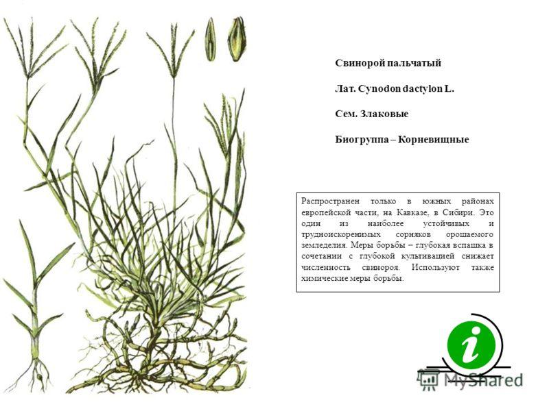 Распространен только в южных районах европейской части, на Кавказе, в Сибири. Это один из наиболее устойчивых и трудноискоренимых сорняков орошаемого земледелия. Меры борьбы – глубокая вспашка в сочетании с глубокой культивацией снижает численность с