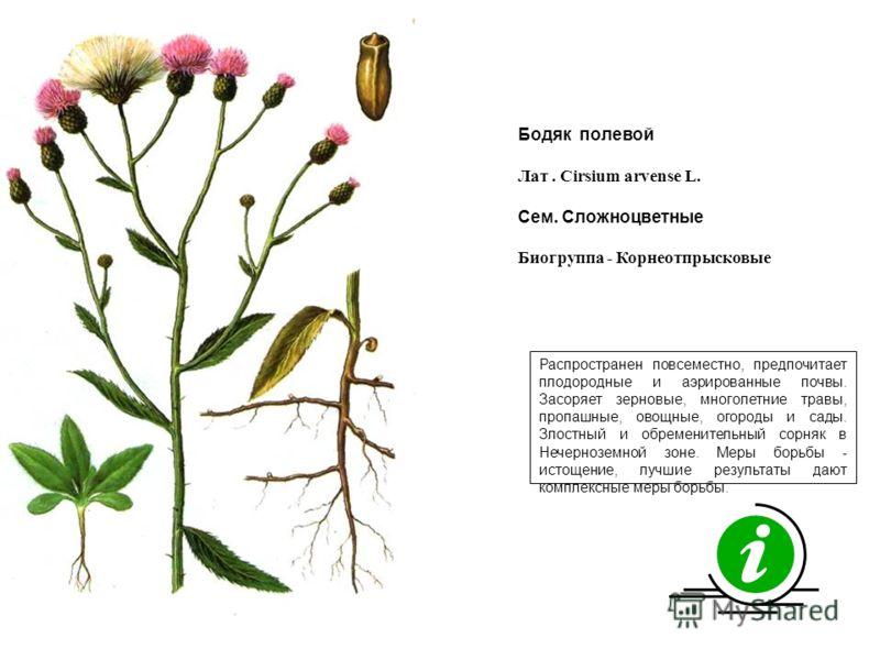 Распространен повсеместно, предпочитает плодородные и аэрированные почвы. Засоряет зерновые, многолетние травы, пропашные, овощные, огороды и сады. Злостный и обременительный сорняк в Нечерноземной зоне. Меры борьбы - истощение, лучшие результаты даю