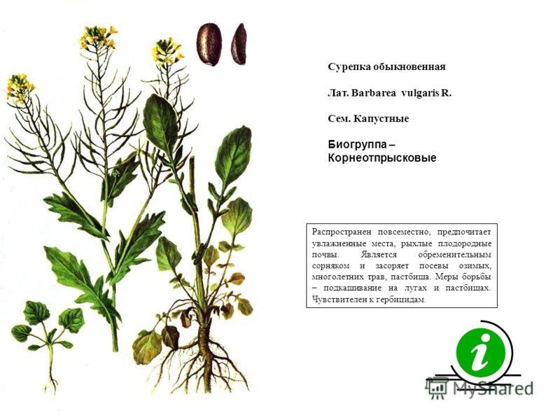 Распространен повсеместно, предпочитает увлажненные места, рыхлые плодородные почвы. Является обременительным сорняком и засоряет посевы озимых, многолетних трав, пастбища. Меры борьбы – подкашивание на лугах и пастбищах. Чувствителен к гербицидам. С