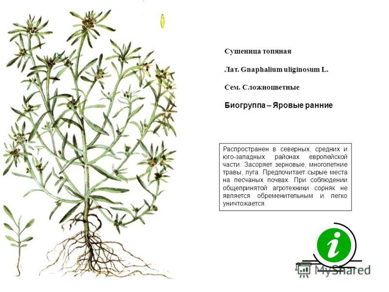 Распространен в северных, средних и юго-западных районах европейской части. Засоряет зерновые, многолетние травы, луга. Предпочитает сырые места на песчаных почвах. При соблюдении общепринятой агротехники сорняк не является обременительным и легко ун