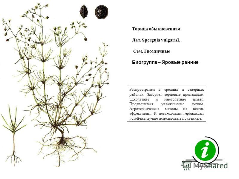 Распространен в средних и северных районах. Засоряет зерновые пропашные, однолетние и многолетние травы. Предпочитает увлажненные почвы. Агротехнические методы не всегда эффективны. К повсходовым гербицидам устойчив, лучше использовать почвенные. Тор