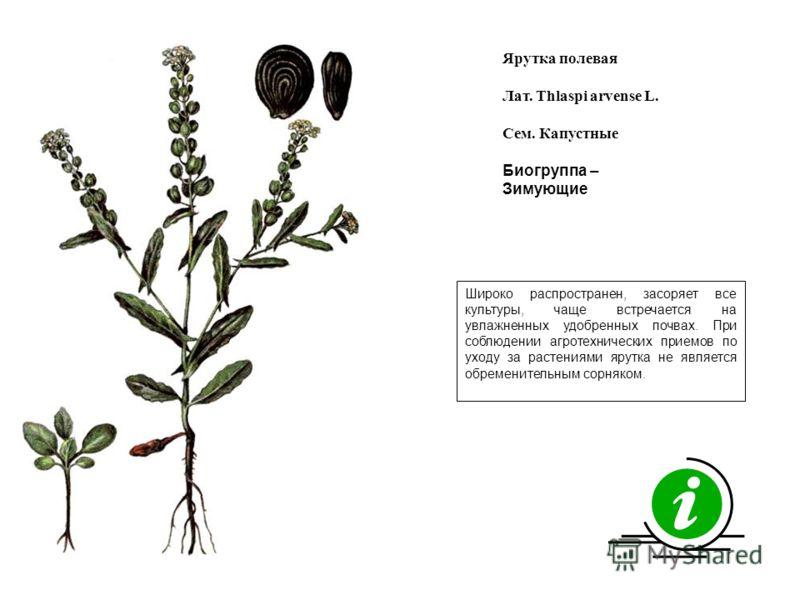Широко распространен, засоряет все культуры, чаще встречается на увлажненных удобренных почвах. При соблюдении агротехнических приемов по уходу за растениями ярутка не является обременительным сорняком. Ярутка полевая Лат. Thlaspi arvense L. Сем. Кап