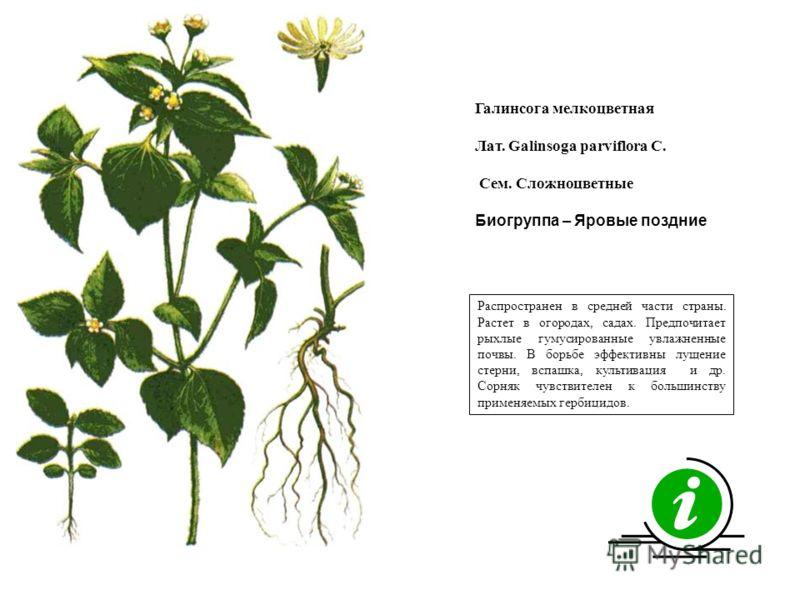 Распространен в средней части страны. Растет в огородах, садах. Предпочитает рыхлые гумусированные увлажненные почвы. В борьбе эффективны лущение стерни, вспашка, культивация и др. Сорняк чувствителен к большинству применяемых гербицидов. Галинсога м
