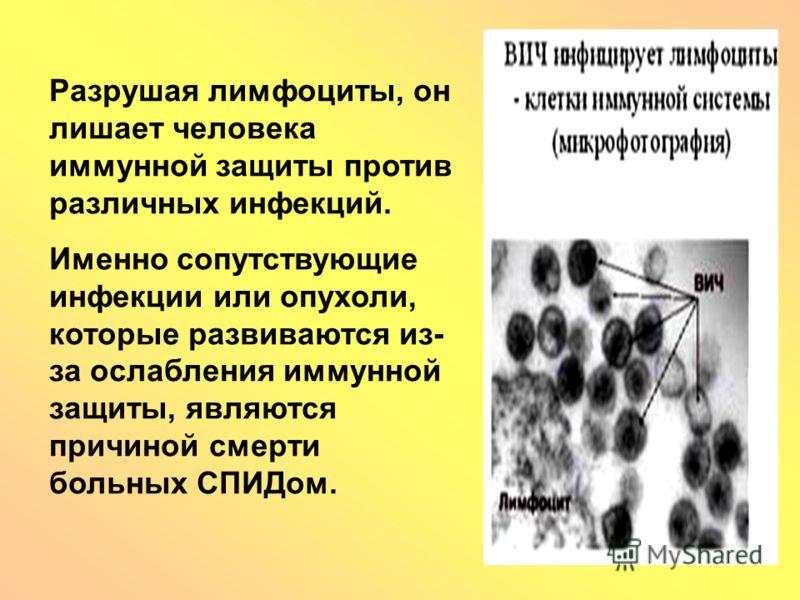 Разрушая лимфоциты, он лишает человека иммунной защиты против различных инфекций. Именно сопутствующие инфекции или опухоли, которые развиваются из- за ослабления иммунной защиты, являются причиной смерти больных СПИДом.