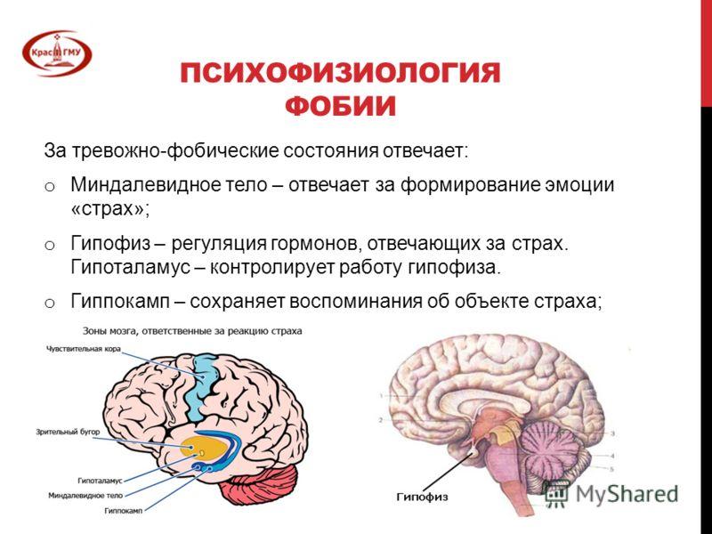 ПСИХОФИЗИОЛОГИЯ ФОБИИ За тревожно-фобические состояния отвечает: o Миндалевидное тело – отвечает за формирование эмоции «страх»; o Гипофиз – регуляция гормонов, отвечающих за страх. Гипоталамус – контролирует работу гипофиза. o Гиппокамп – сохраняет