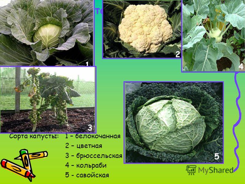 Сорта растений Сорта капусты: 1 – белокочанная 2 – цветная 3 – брюссельская 4 – кольраби 5 - савойская 1 2 3 4 5