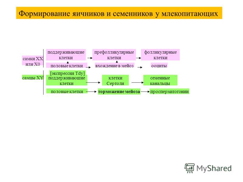 самки XX или X0 поддерживающие клетки префолликулярные клетки фолликулярные клетки половые клеткивхождение в мейозооциты самцы XYподдерживающие клетки клетки Сертоли [экспрессия Tdy] семенные канальцы половые клеткиторможение мейозапросперматогонии Ф