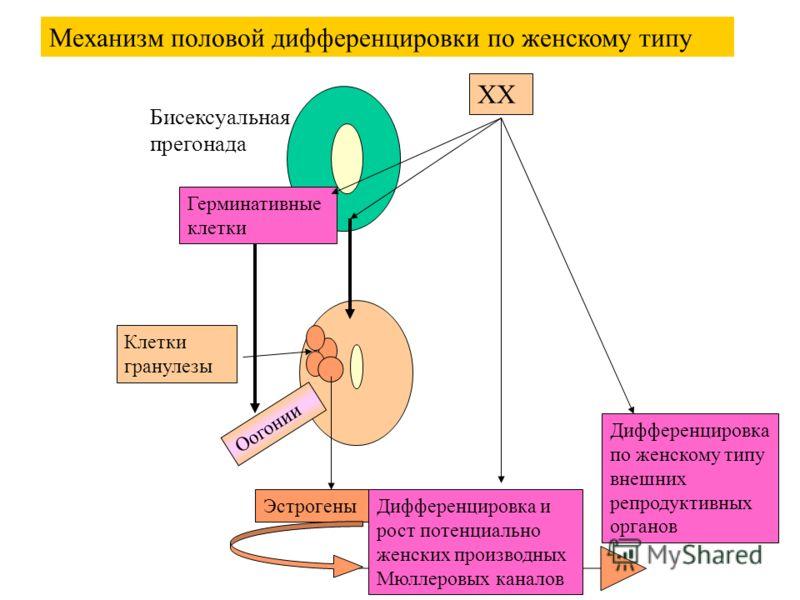 Бисексуальная прегонада Герминативные клетки Дифференцировка и рост потенциально женских производных Мюллеровых каналов Дифференцировка по женскому типу внешних репродуктивных органов Механизм половой дифференцировки по женскому типу Оогонии ХХ Клетк