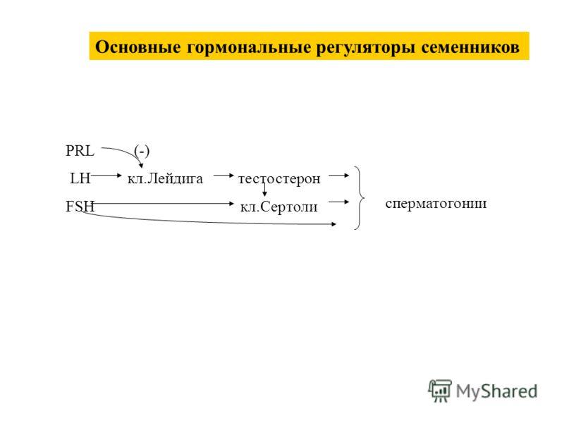 PRL LH FSH кл.Лейдигатестостерон кл.Сертоли (-) сперматогонии Основные гормональные регуляторы семенников