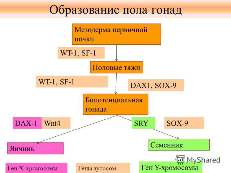 Мезодерма первичной почки Половые тяжи Бипотенциальная гонада Яичник Семенник WT-1, SF-1 DAX1, SOX-9 DAX-1SRYSOX-9 Ген Y-хромосомы Wnt4 Ген Х-хромосомыГены аутосом Образование пола гонад