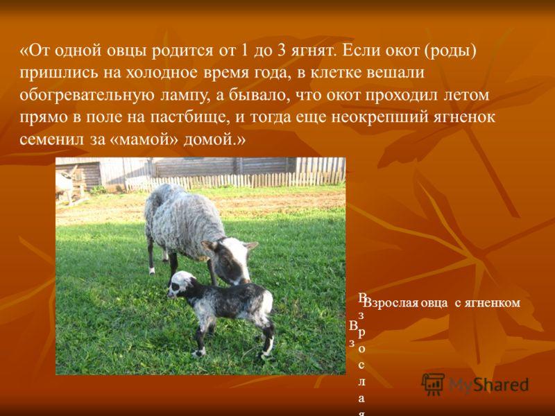 «От одной овцы родится от 1 до 3 ягнят. Если окот (роды) пришлись на холодное время года, в клетке вешали обогревательную лампу, а бывало, что окот проходил летом прямо в поле на пастбище, и тогда еще неокрепший ягненок семенил за «мамой» домой.» Взр