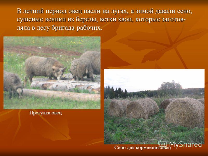 В летний период овец пасли на лугах, а зимой давали сено, сушеные веники из березы, ветки хвои, которые заготов- ляла в лесу бригада рабочих. Прогулка овец Сено для кормления овец