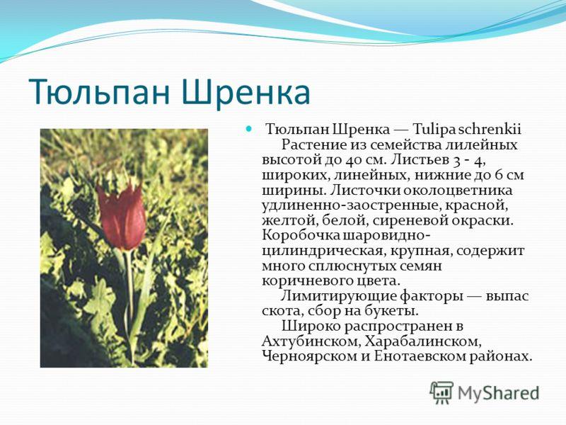 Тюльпан Шренка Тюльпан Шренка Tulipa schrenkii Растение из семейства лилейных высотой до 40 см. Листьев 3 - 4, широких, линейных, нижние до 6 см ширины. Листочки околоцветника удлиненно-заостренные, красной, желтой, белой, сиреневой окраски. Коробочк