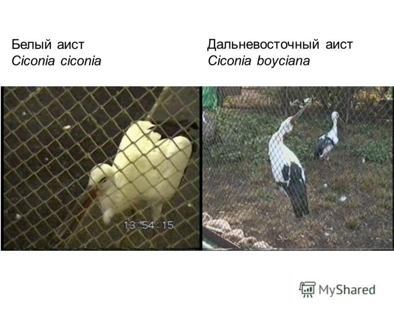 Белый аист Дальневосточный аист Ciconia boyciana Ciconia ciconia