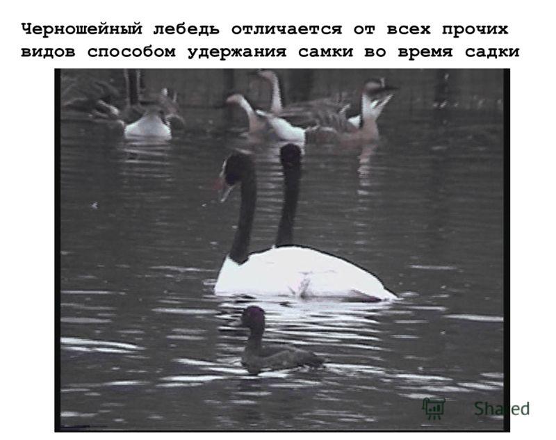 Черношейный лебедь отличается от всех прочих видов способом удержания самки во время садки