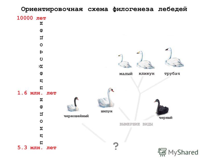 Ориентировочная схема филогенеза лебедей
