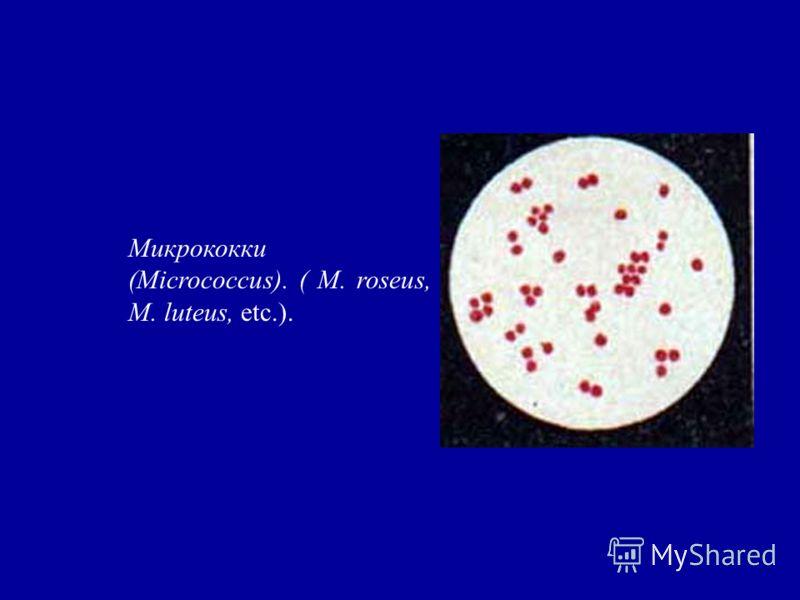 Микрококки (Micrococcus). ( M. roseus, M. luteus, etc.).