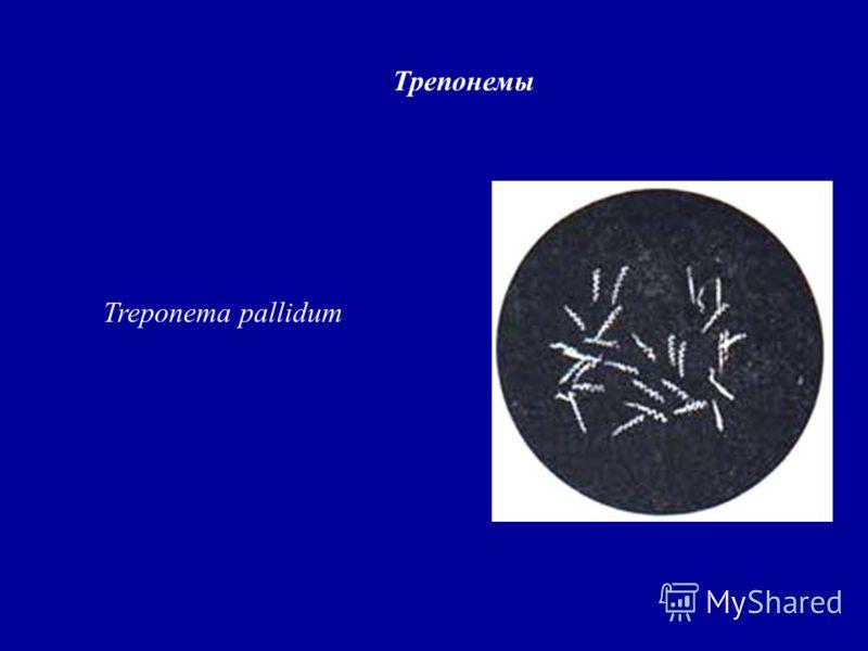 Трепонемы Treponema pallidum