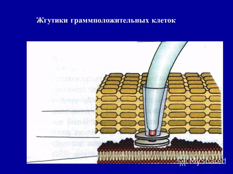 Жгутики граммположительных клеток ЦПМ Периплазматическ ий простор Пептидогликан