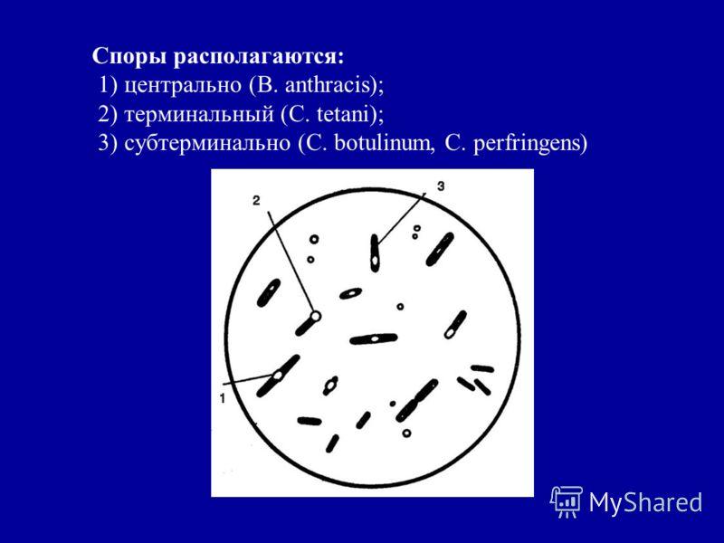 Споры располагаются: 1) центрально (B. anthracis); 2) терминальный (С. tetani); 3) субтерминально (C. botulinum, C. perfringens)