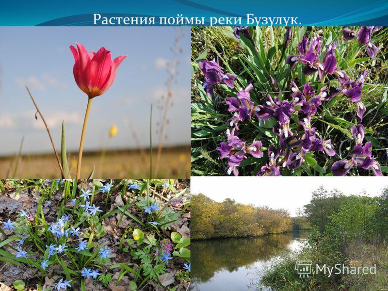 Растения поймы реки Бузулук.