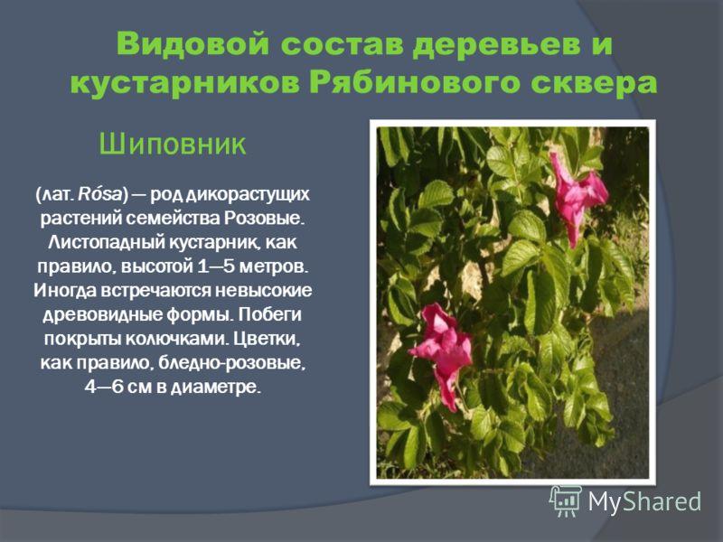 Шиповник (лат. Rósa) род дикорастущих растений семейства Розовые. Листопадный кустарник, как правило, высотой 15 метров. Иногда встречаются невысокие древовидные формы. Побеги покрыты колючками. Цветки, как правило, бледно-розовые, 46 см в диаметре.