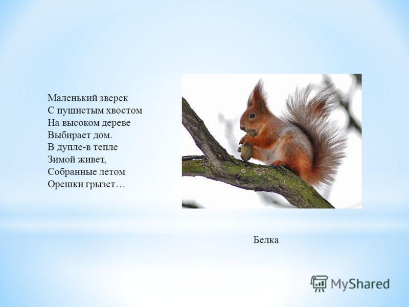 Маленький зверек С пушистым хвостом На высоком дереве Выбирает дом. В дупле-в тепле Зимой живет, Собранные летом Орешки грызет… Белка