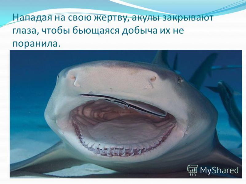Нападая на свою жертву, акулы закрывают глаза, чтобы бьющаяся добыча их не поранила.