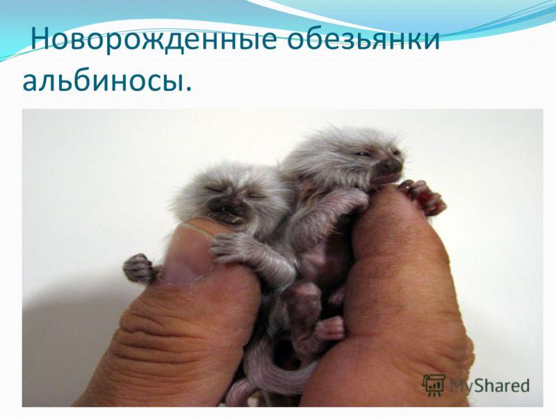 Новорожденные обезьянки альбиносы.