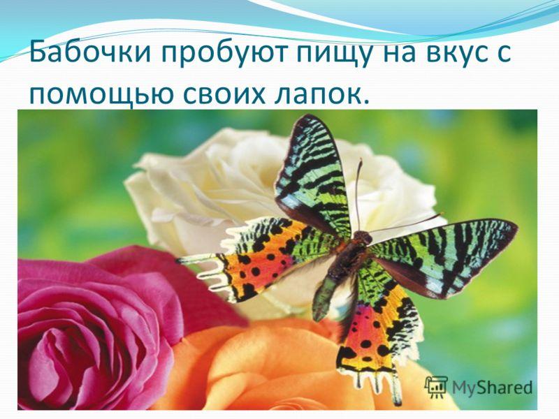 Бабочки пробуют пищу на вкус с помощью своих лапок.