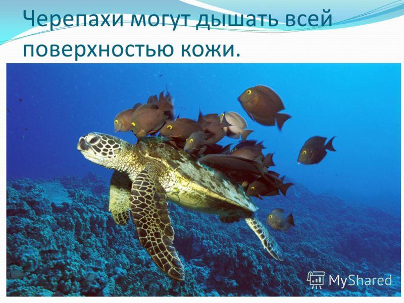 Черепахи могут дышать всей поверхностью кожи.