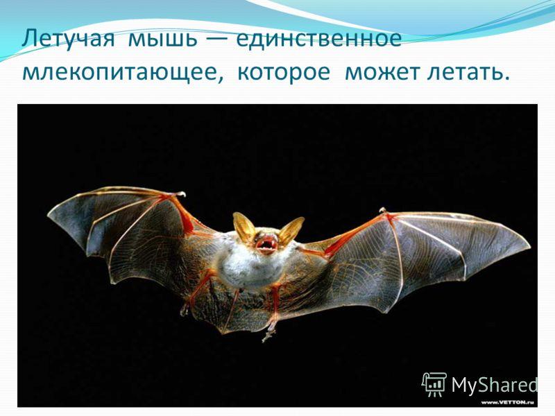 Летyчая мышь единственное млекопитающее, котоpое может летать.