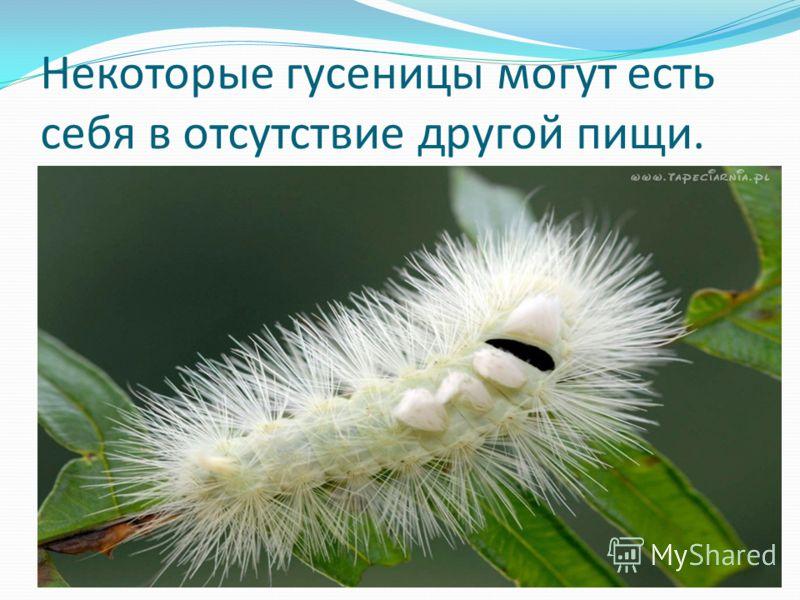 Некоторые гусеницы могут есть себя в отсутствие другой пищи.
