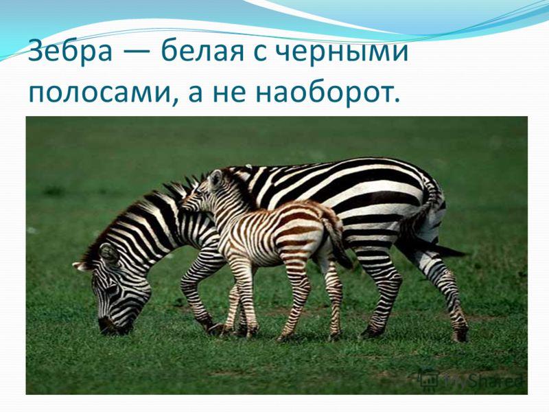 Зебра белая с черными полосами, а не наоборот.